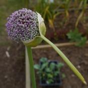Allium (onion) flower
