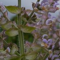 Salvia sclarea - clary sage