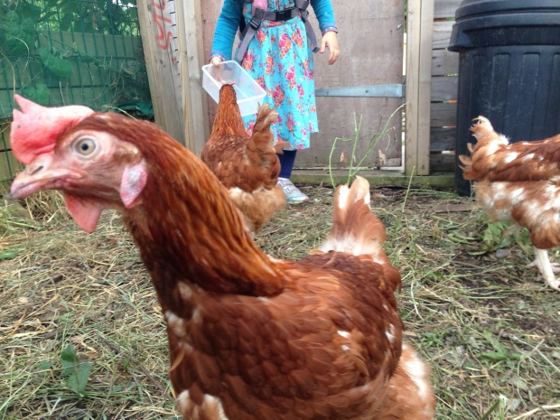 One hen poses for the camera while the other checks out Zainab's box for blackberries